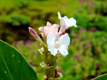 Hitchenia Caulina, gatunki kwiat zakłada w Kaas plateau obrazy stock