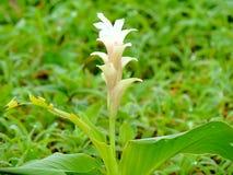 Hitchenia Caulina, species van bloem in Kaas-Plateau wordt gevonden dat royalty-vrije stock foto's