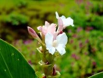 Hitchenia Caulina, Spezies der Blume fand in Kaas-Hochebene stockbilder