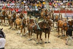 hitches hästar Arkivfoto