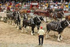 hitches hästar Fotografering för Bildbyråer