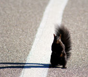 The Hitchhiking Squirrel Royalty Free Stock Photo