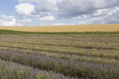 Hitchin-Lavendel-Felder Lizenzfreies Stockfoto