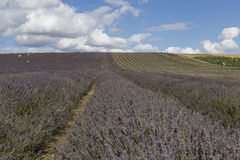 Hitchin-Lavendel-Felder Stockfotografie