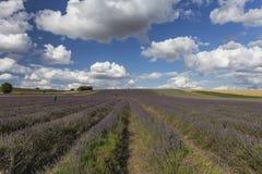 Hitchin-Lavendel-Felder Stockfotos