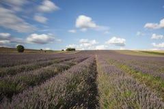 Hitchin-Lavendel-Felder Lizenzfreie Stockfotos