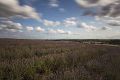 Hitchin-Lavendel-Felder Lizenzfreie Stockfotografie