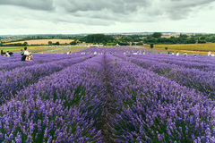 Hitchin lavender farm and visitors hand picking straight from the field. Stock Photo