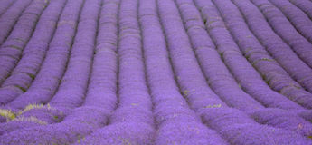 Hitchin lavender field, England Stock Photos