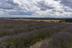 Hitchin Lavender Fields Stock Images