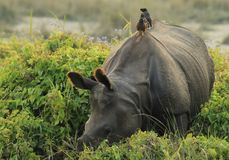 Hitching a Rhino Ride Royalty Free Stock Photo