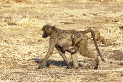 Hitching a ride. Baby Babboon clinging to its mother Royalty Free Stock Images