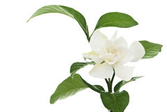 Hite common gardenia orcape jasmine flower Stock Image