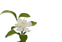 Hite common gardenia orcape jasmine flower Stock Photo