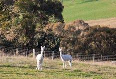 hite för alpacasAustralien lantgård nära nswoberon Arkivfoton