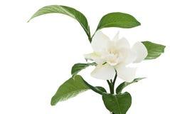 Hite geläufige Gardenia orcape Jasminblume Stockbild