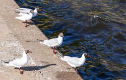Seagulls on parapet near the Gulf of Finland in Kronstadt royalty free stock image