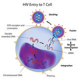 HIV entry to T cell Stock Images