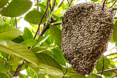 Hive of bees. Adhesion live on the branches of the jack fruit Stock Photography