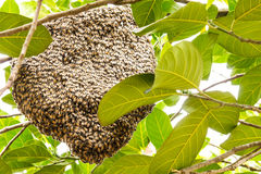 Hive of bees. Adhesion live on the branches of the jack fruit Stock Photo
