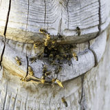 Hive. Bees swarming around their hive Royalty Free Stock Images