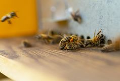 Bees on hive entrance traffic royalty free stock photography