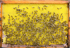 Hive frame with bees Royalty Free Stock Photography