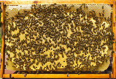 Hive frame with cocoons of bees Stock Image