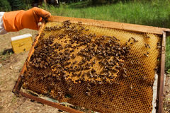 Hive with honey. Beekeeper keeps frame with honeycomb. Many bees Stock Photo
