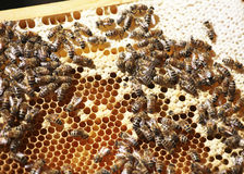 Hive on honeycomb. A hive moves on a honeycomb stock image