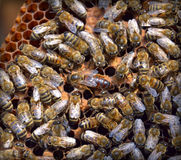 Hive with queen bee Royalty Free Stock Photos