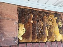 Hive in wall. Honeybee hive in wall void Stock Photos