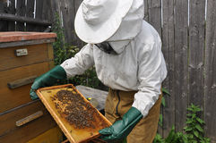The hiver with bees. The beekeeper holds in hands a framework with bees Royalty Free Stock Image