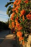 Hiver de floraison accrochant de fleurs oranges Photo stock