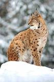 Hiver de Lynx Photographie stock