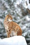 Hiver de Lynx Photos stock