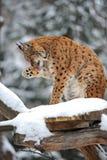 Hiver de Lynx Photographie stock libre de droits