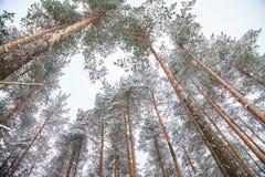 Hiver de neige et grands sapins, forêt d'hiver Photos libres de droits
