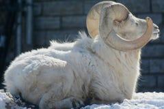 Hiver exposant au soleil le Ram de moutons de Dall Photo libre de droits