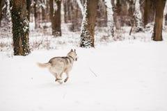 Hiver froid marchant avec le chien Photos stock
