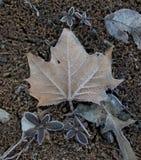 Hiver Frost sur une feuille de sycomore Photo stock