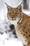 Hiver Lynx Image libre de droits