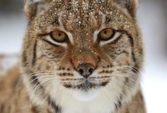 Hiver Lynx Photos stock