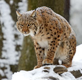 Hiver Lynx Images libres de droits