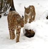 Hiver Lynx Photo libre de droits