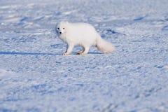 Hiver polaire blanc de renard de faune de plan rapproché dans le Svalbard arctique images stock