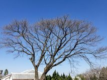 Hiver sans feuilles d'arbres de ciel bleu photo stock