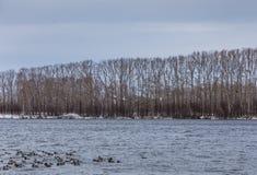 Hiver sauvage de cygnes sur le lac chaud Svetloye près du village d'Urozhaynoe, Altai, Russie images stock