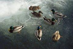 Hivernages de canards dans l'eau libre au milieu de la glace photographie stock