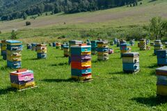 Hives in an apiary with bees flying to the landing boards. Apiculture, Altai